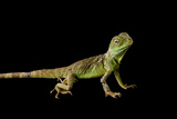 A Chinese Water Dragon, Physignathus Cocincinus, at Scaly Dave's Herp Shack. Photographic Print by Joel Sartore