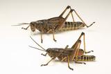 The Southeastern Lubber Grasshopper, Romalea Microptera. Photographic Print by Joel Sartore