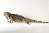 A Cuban Iguana, Cyclura Nubila. Photographic Print by Joel Sartore