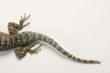 Back End of a Crevice Spiny Lizard, Sceloporus Poinsettii. Photographic Print by Joel Sartore
