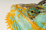 The Eye and Face of a Veiled Chameleon, Chamaeleo Calyptratus. Photographic Print by Joel Sartore
