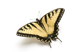 A Male Tiger Swallowtail Butterfly, Papilio Glaucas. Photographic Print by Joel Sartore
