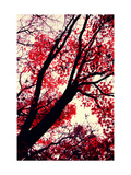 Fall Japanese Maples, Oakland Poster by Vincent James