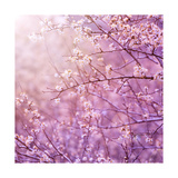 Beautiful Tender Cherry Tree Blossom in Morning Purple Sun Light Poster by Anna Omelchenko