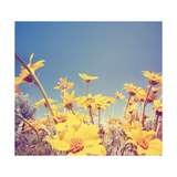 A Bunch of Pretty Balsamroot Flowers Done with a Soft Vintage Instagram like Effect Filter Prints by  graphicphoto