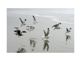 Canada, B.C, Vancouver Island. Gulls Flying on Florencia Beach Prints by Kevin Oke