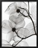 Dogwood Blossoms Positive Art by Steven N. Meyers