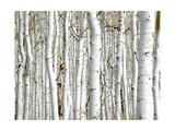 Birch Wood Affiches par  PhotoINC