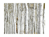 Birch Wood Prints by  PhotoINC