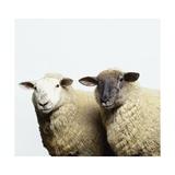 Sheep Standing Side by Side Art by Adrian Burke