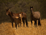 Mustang Family Photographic Print by Sally Linden
