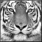 Tiger Mounted Print