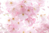 Cherry Tree, Blossoms, Pink, Close-Up Photographic Print by Alexander Georgiadis