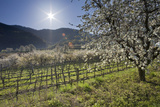 Austria, Lower Austria, Wachau, Vineyard with Cherry Trees on Sunny Day in Spring Photographic Print by Rainer Mirau