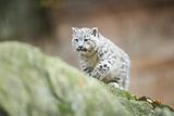 Snow Leopard, Uncia Uncia, Young Animal, Rock, Walking, Frontal Photographic Print by David & Micha Sheldon