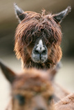 Alpaca, Llama Guanacoe F. Glama, Portrait, Series, Wildlife Photographic Print by Ronald Wittek