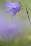 Harebell, Campanula Rotundifolia, Close-Up Photographic Print by Andreas Keil