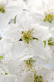 Cherry Tree, Branch, Detail, Blooms, Tree Photographic Print by Herbert Kehrer