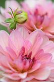 Water Lily - Dahlia, Dahlia X Hoard Sis 'Sourir De Crozon', Blossoms, Bud, Close-Up Photographic Print by Andreas Keil