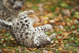 Snow Leopard, Uncia Uncia, Young Animal, Falling, Foliage Photographic Print by David & Micha Sheldon