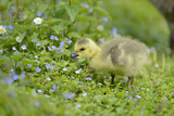 Canada Goose, Branta Canadensis, Fledglings, Meadow, Side View, Standing Photographic Print by David & Micha Sheldon