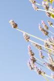 Lavender Blossoms, Lavandula Angustifolia, Syn. Lavandula Officinalis Photographic Print by Alexander Georgiadis