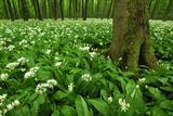 Beech-Forest, Forest-Ground, Bear-Leek Photographic Print by Raimund Linke