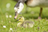 Canada Goose, Branta Canadensis, Fledglings, Meadow, Side View, Lying Photographic Print by David & Micha Sheldon
