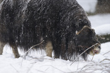 Musk Ox, Ovibos Moschatus, Females, Eat Grass, Winter Photographic Print by Andreas Keil