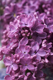 Lilac, Blossoms, Close Up Photographic Print by Manuela Balck