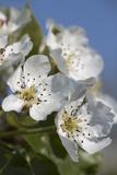 Apple Blossom, Close Up Papier Photo par Manuela Balck