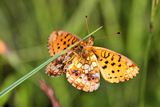 Lesser Marbled Fritillary, Blade of Grass Photographic Print by Harald Kroiss