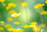 Buttercup, Blossoms, Close-Up Photographic Print by Alexander Georgiadis