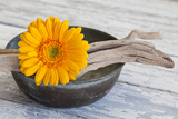 Gerbera Blossom, Driftwood, Shell Photographic Print by Andrea Haase