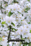 Apple Blossom, Medium Close-Up, Apple-Tree, Tree, Spring Papier Photo par Herbert Kehrer