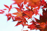 Japanese Maple, Maple Leaves, Acer Palmatum Photographic Print by Sweet Ink