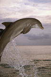 Sea, Ordinary Dolphin, Delphinus Delphis, Jump, Twilight, Series, Waters, Wildlife, Animal, Mammal Photographic Print by Frank Lukasseck