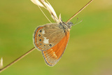 Pearly Heath Butterfly, Blade of Grass Photographic Print by Harald Kroiss