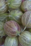 Gooseberries, Close Up Photographic Print by Manuela Balck