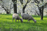Meadow, Sheep, Graze, Cherry Trees, Breeding Photographic Print by Herbert Kehrer