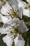Apple Blossom, Close Up Photographic Print by Manuela Balck