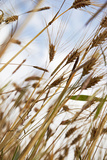 Grain, Barley, Low Angle View, Summer Photographic Print by Nora Frei