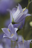 Bellflower, Blossoms, Close Up Photographic Print by Manuela Balck