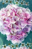 Soft Pink Hydrangea Blossom Upon Green Leafes with White Blossoms Photographic Print by Alaya Gadeh