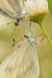 Wood White Butterflies, Two, Mating, Close-Up Photographic Print by Harald Kroiss