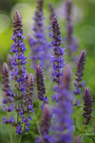 Garden Catmint, Nepeta, Medium Close-Up Photographic Print by Andreas Keil
