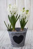 Hyacinths, White, Spring Flower, Flowerpot, Heart Photographic Print by Andrea Haase