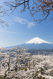 Blossoming Cherry Trees in the Hills of Fujiyoshida in Front of Snowy Mount Fuji Photographic Print by P. Kaczynski