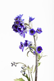 Larkspur, Consolida Regalis, Detail, Blossoms Photographic Print by Frank Lukasseck