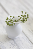 Still Life, Ivy Blossoms, Green, Vase, White Photographic Print by Andrea Haase